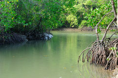 River in Mangrove Forest Stock Image