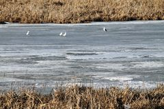 Spring, snow, snow melts, sun, grass,river,seagulls on the river stock photography