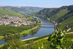 River mosel in trittenheim. With vineyards Royalty Free Stock Image