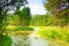 River with mud flows in coniferous forest Stock Photography