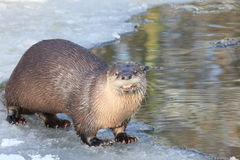 Free River Otter Royalty Free Stock Image - 12365536
