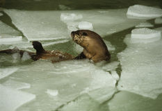 River Otter. A river otter coming up for air in icy water Stock Photos