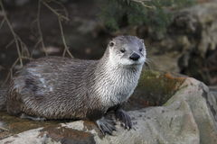 River Otter Royalty Free Stock Photos