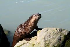 River Otter Stock Photos