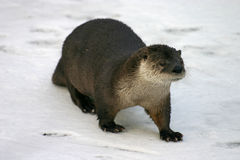 River Otter Stock Image