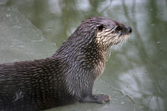 River otter. On ice Royalty Free Stock Images