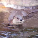 River otter. In the water - close up Royalty Free Stock Images