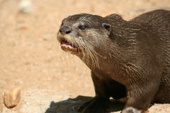 River Otter Stock Photo