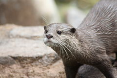 Free River Otter Stock Photography - 6779802