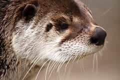 River Otter. Closeup of a River Otter against a blurred background Stock Images