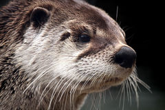 Free River Otter Stock Photography - 9049382