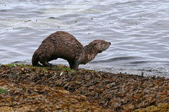 River Otter with Arched Back Royalty Free Stock Image
