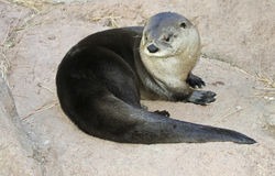 A River Otter Dries Out on a Rock Royalty Free Stock Images