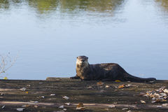 River Otter  Stock Images