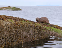River Otter Eating Royalty Free Stock Images