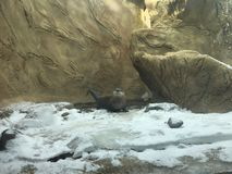 River Otter Exploring the Snowy shore with a stream and waterfall next to it stock photos