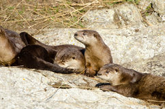 River Otter Family, Victoria, Canada Stock Images