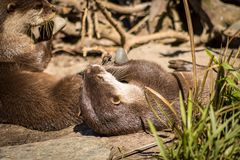 River Otter With Favorite Rock. Also known as the European otter, Eurasian river otter, common otter, and Old World otter, is a semiaquatic mammal native to royalty free stock photography