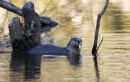 River Otter with fish in mouth. River Otter; Walton County, Georgia USA. November 2018. The North American river otter Lontra canadensis, also known as the stock photography