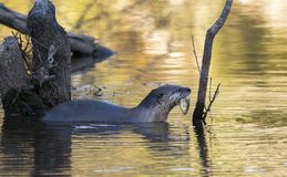 River Otter with fish in mouth stock photo