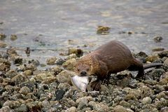 River Otter with fish Royalty Free Stock Image