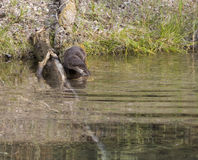 River Otter Going in the Water Stock Images