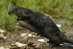 River Otter on Log Royalty Free Stock Photo