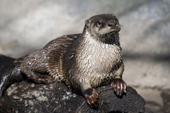 River Otter on a log. A River Otter sunning itself on a log Royalty Free Stock Image