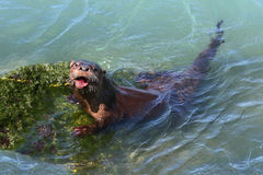 River Otter (Lontra canadensis) Royalty Free Stock Photography