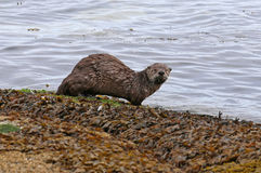 River Otter Looking Royalty Free Stock Photography
