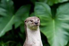 River Otter in Malaysia Stock Image