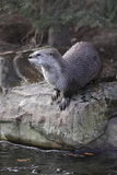 River Otter Near Bank Royalty Free Stock Photography