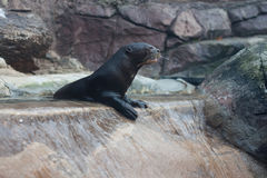 River Otter. S playing in their enclosure at the Philadelphia Zoo Royalty Free Stock Images