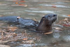 River Otter at Play stock images