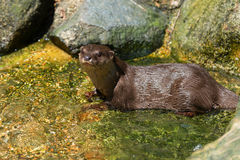 River Otter Playing in the Water Stock Image