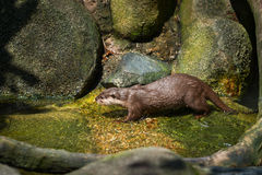 River Otter Playing in the Water Royalty Free Stock Image