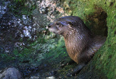 River Otter Royalty Free Stock Image