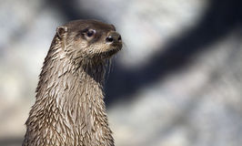 River Otter profile. Closeup portrait of a cute river otter Royalty Free Stock Photos