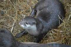 River Otter Stock Photography