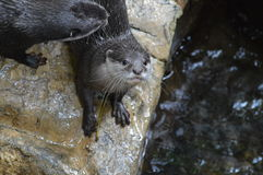 River Otter Royalty Free Stock Photography