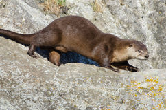 River Otter running on a Rock Stock Images