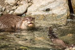 River Otter Senses Danger. Also known as the European otter, Eurasian river otter, common otter, and Old World otter, is a semiaquatic mammal native to Eurasia royalty free stock photography