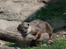 River Otter Sleeping On a Log in a Cute Position Royalty Free Stock Photo