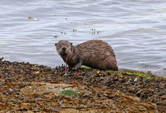 River Otter Snacking Stock Image