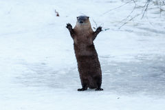 River otter standing and waving on the ice Stock Photo