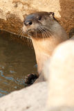 River otter sticks his head up Stock Image