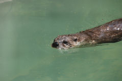 River Otter Swimming Along the Surface of the Water Stock Images