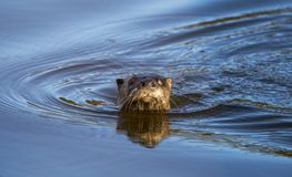 River Otter Swimming Georgia royalty free stock photo