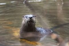 River Otter swimming in muddy Georgia pond, USA royalty free stock image