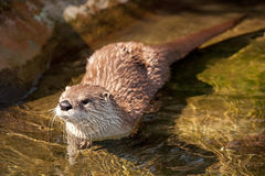 River otter. Swims in stream royalty free stock photo